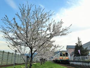 荒砥駅の桜