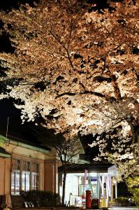 長井駅の桜