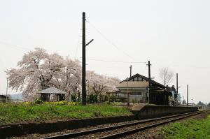 羽前成田駅の桜