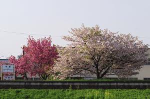 梨郷駅の桜