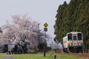 時庭駅の桜
