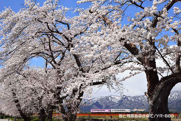 桜と残雪を仰ぎ見て(YR-889)