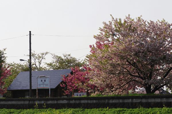 sakura_ringou6
